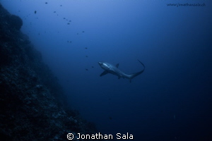 Thresher Shark by Jonathan Sala