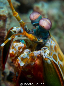 Mantis shrimp by Beate Seiler