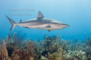 Shark and Reef, Gardens of the Queen Cuba by Alejandro Topete