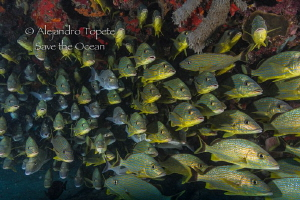 School of Grunts, Playa del Carmen Mexico by Alejandro Topete