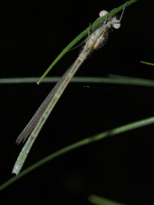 Damselfly (2 of 4): Still preparing for life on wings. by Chris Krambeck