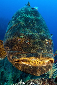 Goliath grouper portrait by Gleb Tolstov