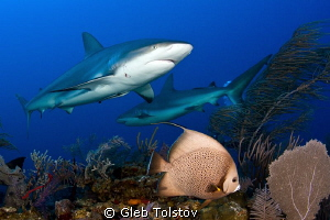 Angel fish and sharks by Gleb Tolstov