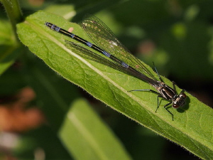 Damselfly (3 of 4):