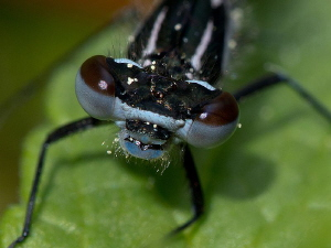 Damselfly (4 of 4): ... ready to hunt in new element. by Chris Krambeck