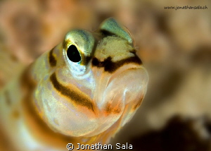 blenny portrait by Jonathan Sala