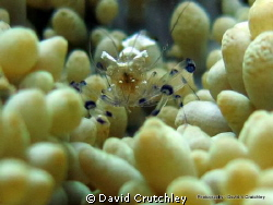 At home in the Anemone  by David Crutchley