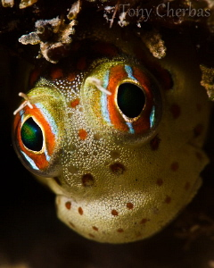 Blenny up close by Tony Cherbas