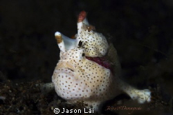 Clown frogfish portrait by Jason Lai