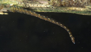 Leech (Erpobdella spec.)