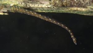 Leech (Erpobdella spec.) under a submerged branch by Chris Krambeck