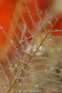 Tiny Mediterranean skeleton shrimp (pregnant) by Oscar Miralpeix
