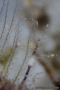 Pregnant skeleton Shrimp by Iyad Suleyman