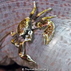 "Porcelain crab  NIKON D7000 in a Seacam ""Prelude"" uw ho... by Thomas Bannenberg"