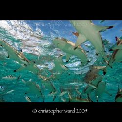 Moorea, French Polynesia. More black tip sharks in about ... by Christopher Ward