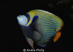 Emperor Angelfish by Andre Philip