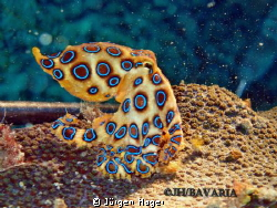 Bluering Octopus Negros near Sipalay April 2013. by Jürgen Hager