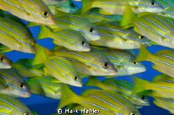 Hawaiian Blue Striper... by Mark Mahler