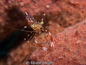 Shrimp in a sponge by Beate Seiler
