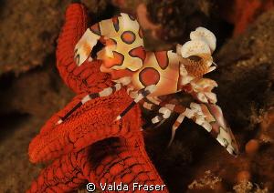 A harlequin shrimp working hard to dislodge a starfish. by Valda Fraser