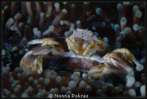 porcelain crab with eggs by Nonna Pokras