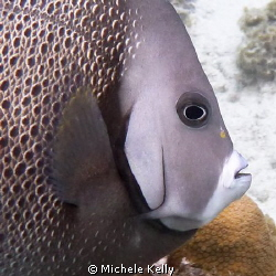 Gray angelfish inviting me for a swim by Michele Kelly