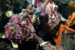 Psst, coming thru. Cannon 10D, Lembeh. Two painted frogfi... by John Akar