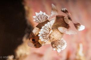 Juvenile sweetlips. by Mehmet Salih Bilal