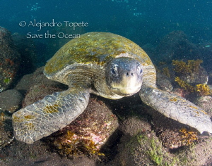 Green Turtle, Galapagos Ecuador by Alejandro Topete