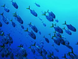 Schooling horse eye jacks, off the wall at The South Wate... by Martin Spragg