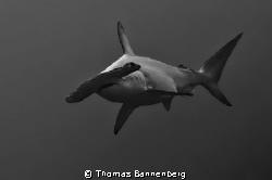 "Hammerhead shark #2  NIKON D7000 in a Seacam ""Prelude"" ... by Thomas Bannenberg"