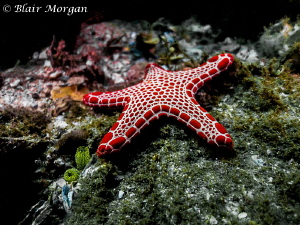 Vermilion Biscuit Sea Star (Pentagonaster duebeni) by Blair Morgan