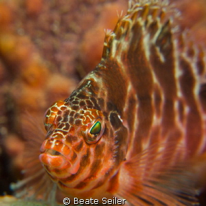 Hawkfish by Beate Seiler
