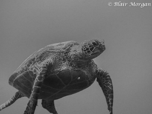 Very large Green Sea Turtle in Aitutaki, Cook Islands by Blair Morgan