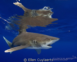 Hard to digest!  Visiting the Oceanic Whitetips in the ... by Ellen Cuylaerts
