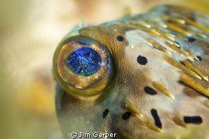 Balloonfish eye - Utila by Jim Garber