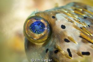 Balloonfish eye - Utila by Jim Garber
