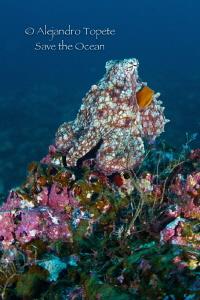 Octopus in the Reef, Isla de Coco Costa Rica by Alejandro Topete