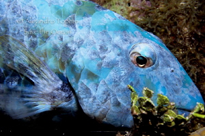 Blue Parrot Fish, San Pedro Belize by Alejandro Topete