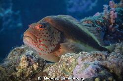 hawkfish (Paracirrhites forsteri)  NIKON D7000 in a Sea... by Thomas Bannenberg