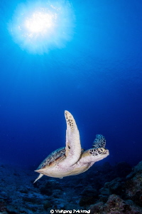 Nice turtle approaching me almost directly... by Wolfgang Zwicknagl