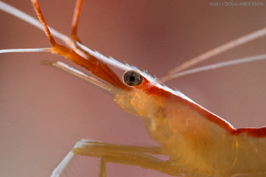Cleaner shrimp, Pulau Weh by Doug Anderson