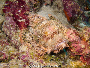 Scorpion Fish at Wakatobi by Marteyne Van Well