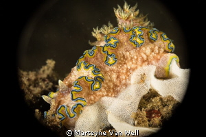 Nudibranch with eggs by Marteyne Van Well