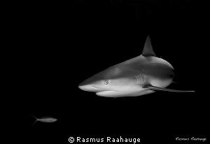 Caribbean reef shark by Rasmus Raahauge