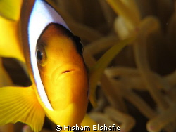Clownfish and anemone. 