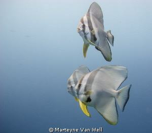 Batfishes at the House Reef at Six Senses Laamu by Marteyne Van Well