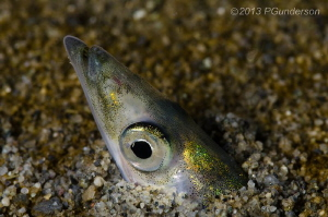 Simply a Pacific Sand Lance by Pat Gunderson