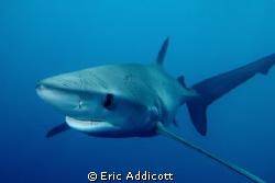 Female Blue Shark, taken freediving in San Pedro channel ... by Eric Addicott