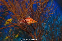 Hawkfish by Todd Moseley